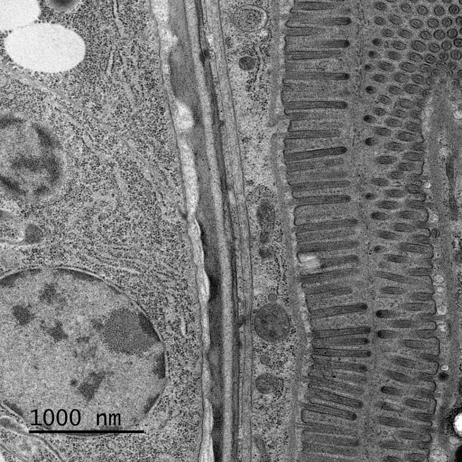 High-resolution image of C. elegans stomach sample.