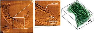 AFM tomography of resin embedded cyanobacteria. Photosynthetic membrane lamellae are clearly seen both on enlarged AFM image and on a 3D model (4.9x4.6x0.9 um, spaces between sections 50 nm).Sample courtesy of Dr.N.Matsko, ETH, Zurich, Switzerland.
