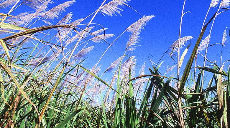 sugar cane for biofuels