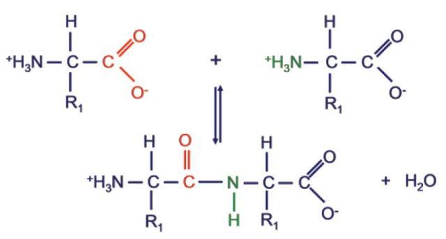 Peptide bond formation.