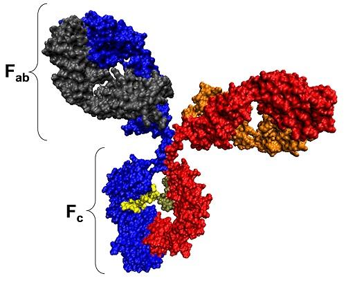 Antibody structure.