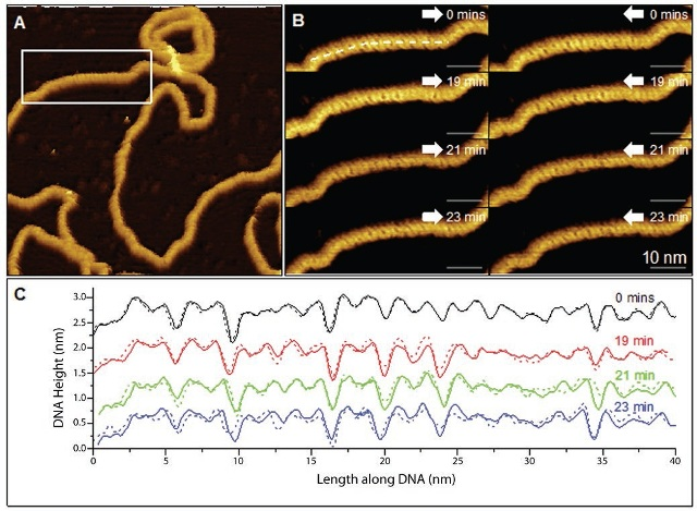 PeakForce Tapping image of groove depth variations in the DNA plasmid topography obtained using the FastScan Bio AFM and FastScan-D probes (small cantilever and standard silicon tip). (A) Low-magnification AFM topography image of a plasmid showing corrugation. The white rectangle indicates the area imaged in B. (B) Higher-magnification trace (white arrow to right) and retrace (white arrow to left) images of this area showing corrugation consistent with the B form of DNA, for consecutive images. (C) Trace (solid) and retrace (dashed) height profiles taken along straight lines as indicated in B, closely following the backbone of the four plasmid scans and averaged over a 5-pixel (~0.5) width. The height profiles confirm the observed corrugation to be the alternating major and minor grooves of double helix structure and that these grooves vary in depth along the DNA strand. The height profiles have been offset by multiples of 0.6 nm for clarity.Color scales: 3.5 nm (A), 1.1 nm (B). Reproduced with permission from Pyne et al.