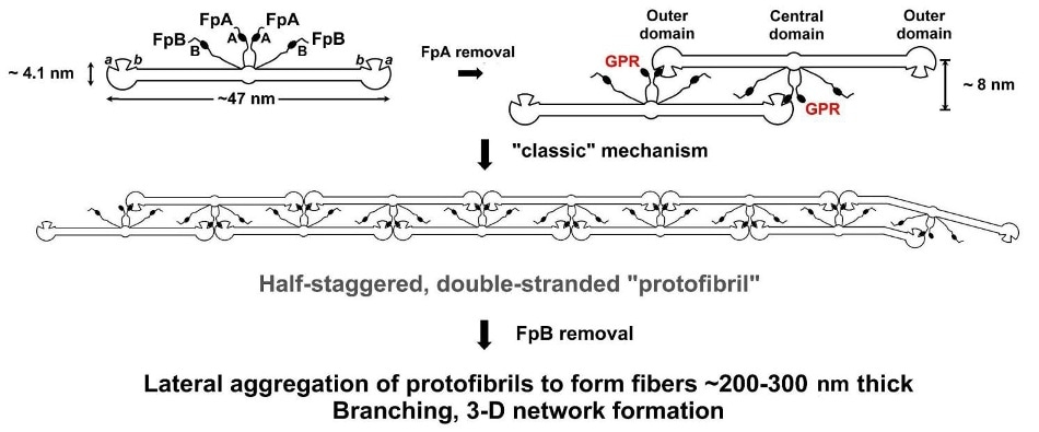 """The """"classical"""" model for fibrinogen network formation. Following enzymatic removal of two short peptides (FpA) from the central domain of FG molecules, Gly-Pro-Arg (GPR) """"knobs"""" are uncovered, which are complementary to """"holes"""" always present in the outer domains of every FG molecule. This initiates self-assembly, producing long, half-staggered, fully double-stranded (proto)fibrils. Lateral fibril aggregation and branching aided by delayed enzymatic removal of another pair of peptides (FpB) generate the final fibrin network."""