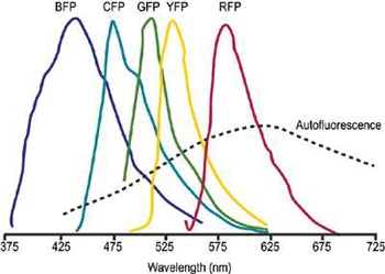 Schematic representation of overlapped fluorescent protein emission spectra. Typically broad autofluorescence is also shown.