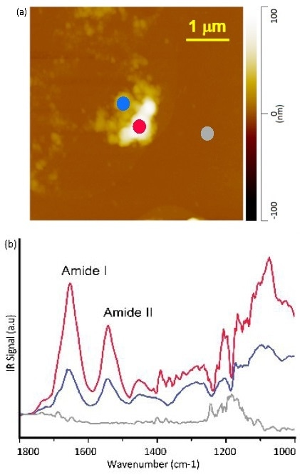(a) AFM height image of human skin residue on silicon wafer. (b) Corresponding AFM-IR spectra; Amide I and II bands are indicated.