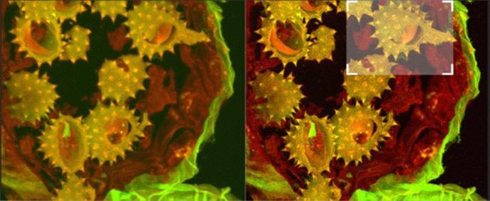 Shows full field image of the daisy pollen grains before and after deconvolution,