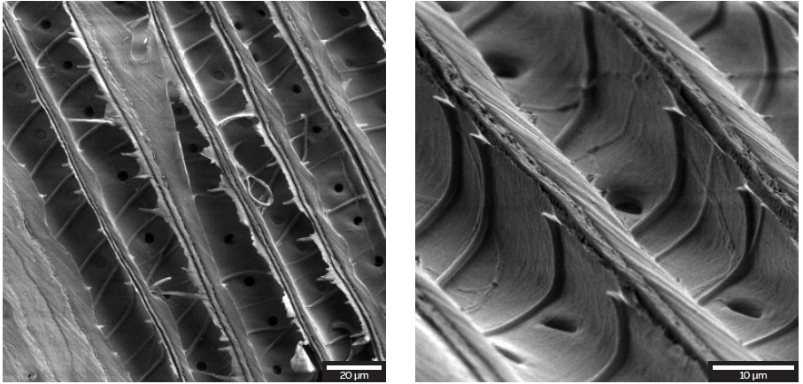 Longitudinal cross-section through a spiral thickened cell-wall of the sample (left). Higher magnification of the sample tilted at 55° (right)