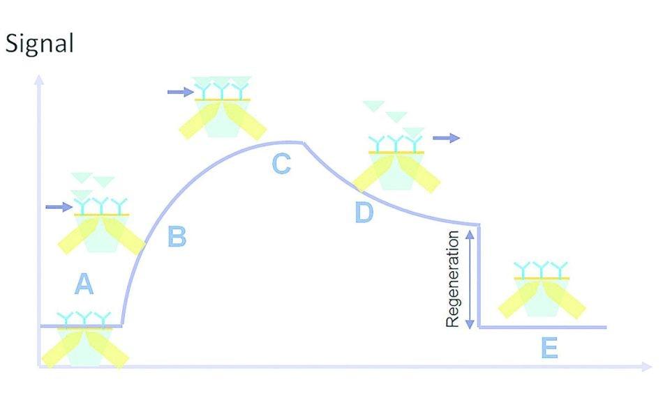 Kinetic interaction curve: (A) latency time, (B) association, (C) saturation, (D) dissociation, (E) regeneration.