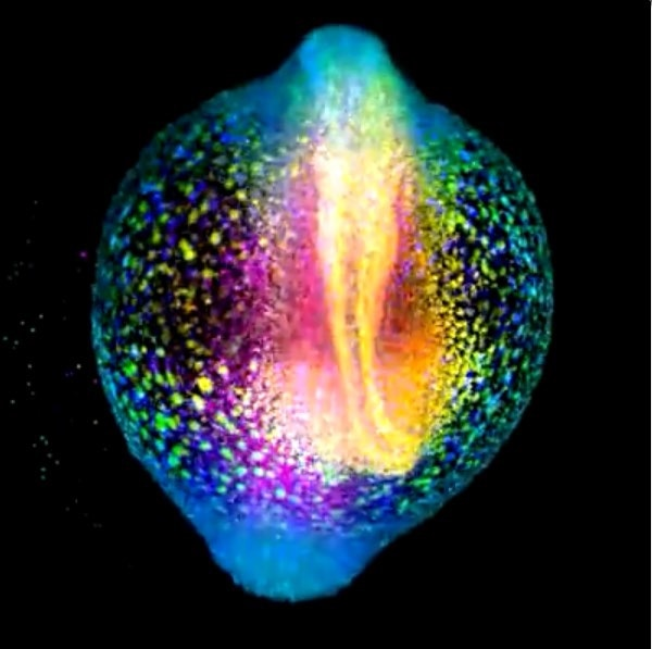 A developing zebrafish embryo imaged from 4 to 18 hours post fertilization where each cell nucleus is labelled with GFP. Cells are colorcoded for depth to visualize how dynamic cell reorganization gives rise to the body axis of zebrafish. Image courtesy of Gopi Shah, Max Planck Institute of Molecular Cell Biology and Genetics, Dresden.