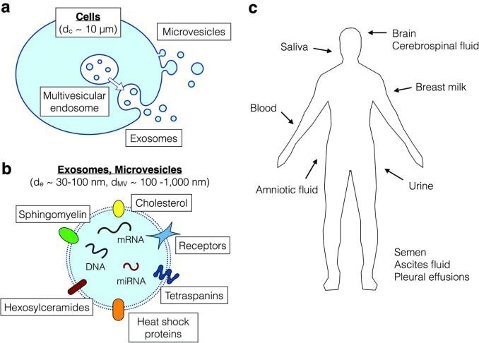 Secretion of exosomes from cells and their significance for biomarkers. a) biogenesis of exosomes from multivesicular endo-somes, in contrast to the microvesicles which are released from the cell surface via membrane budding. b) exosomes and microvesicles both contain transmembrane proteins, intracellular proteins, DNA, RNA and miRNA, which are potential biomarkers. c) exosomes are found in all body fluids. Figure from (2).