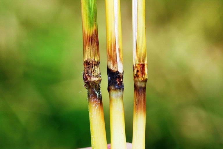 Rice Blast Symptoms on Rice Stalks.