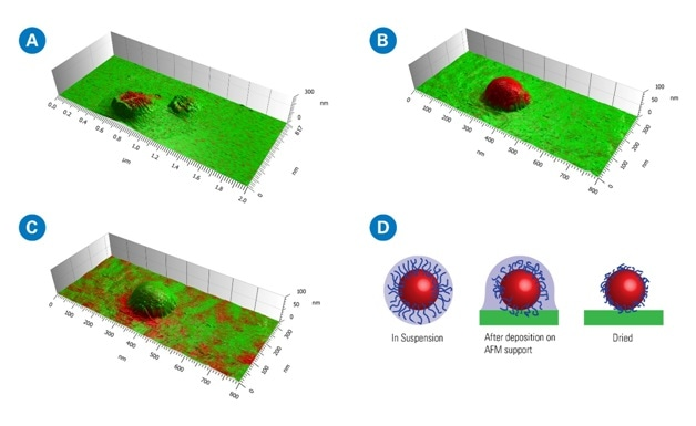 Comparison of contact mode AFM-IR (A) and Tapping AFM-IR (B, C) chemical maps on PLA NPs, and a schematic illustration of the NPs drying process on the AFM substrate (D). The 3D overlaid (topography and IR absorption) views clearly illustrate the topographic variations induced by the AFM acquisition mode. For A and B, red represents the strong absorption of the ester carbonyl band of the PLA core at 1760 cm−1 and for C, red represents the strong absorption of the C H–bending and of the PVA corona at 1415 cm−1. In D, the cores and the shells are schematically represented in red and blue, respectively. Adapted from Mathurin, et al., Analyst, 2018, DOI: 10.1039/c8an01239c.