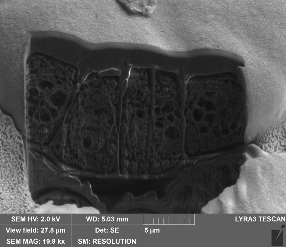 Site specific Cryo-FIB of a European ash leaf