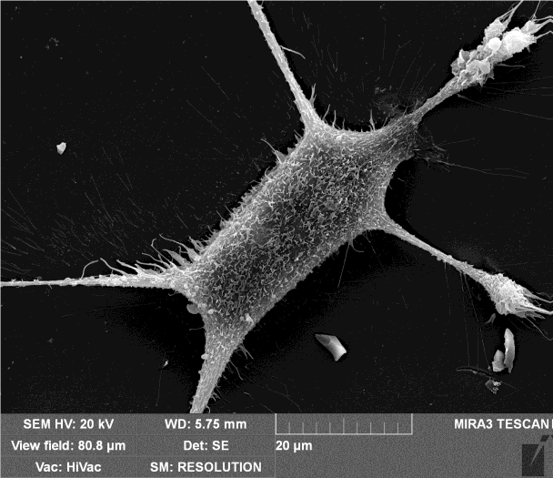 Mouse Embryonic Fibroblasts