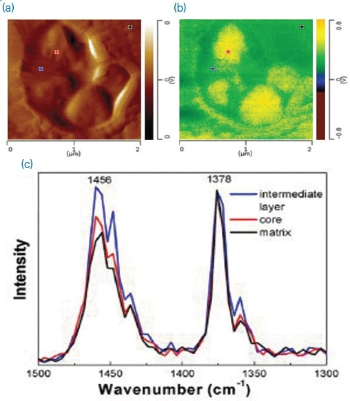 (a) AFM height image; (b) AFM-IR map of the methyl symmetric CH-bending at 1378 cm-1; and (c) AFM-IR spectra taken at the locations marked in (a) and (b), normalized to the 1378 cm-1 band, indicative of different ethylene contents as shown by the intensity of the 1456 cm-1 band.