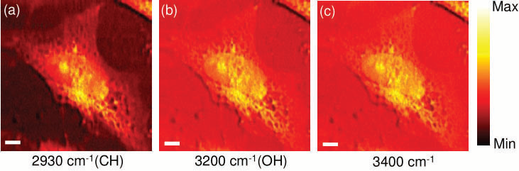 CARS images of an unstained HeLa cell by selective excitation at 2930 cm-1(a), 3200 cm-1 (b) and 3400 cm-1 (c). Scale bar is 6 µm.