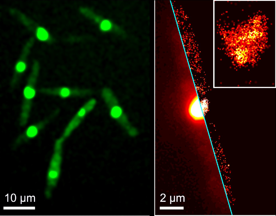 SMLM image of a selected cell with red-converted protein; the inset shows a close-up around the cell nucleus. SMLM images were rendered from 1000 successive camera frames taken with 561 nm illumination for fluorescence excitation and an additional weak 405 nm illumination for green-to-red photoconversion of the protein.