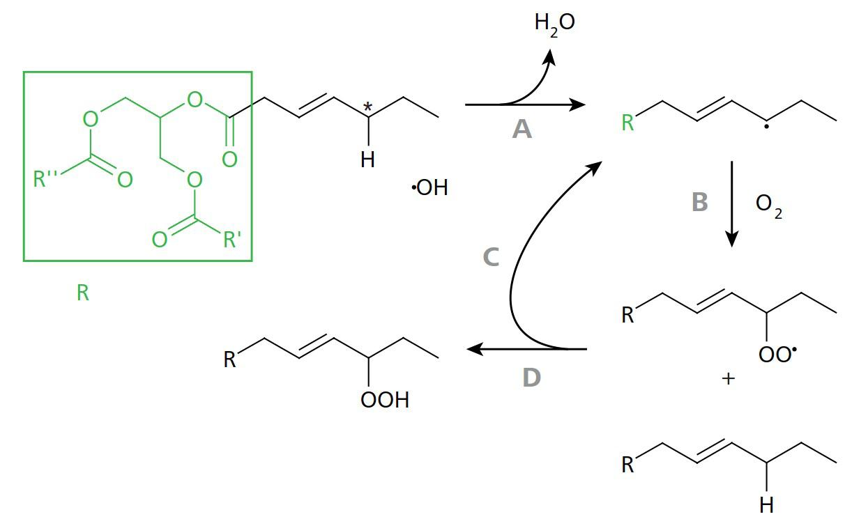 "Scheme of peroxidation of a monounsaturated fatty acid. A: The methylene group (marked with an asterisk) is particularly susceptible to the cleavage of an H atom due to its position adjacent to the double bond. This leads to a reaction with the hydroxyl radical. B: The reactive radical binds to molecular oxygen from the ambient air. C, D: A reaction with a ""fresh"" fatty acid produces a peroxide on the one hand and a free radical on the other – a chain reaction begins"