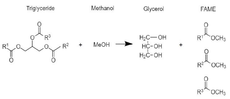 Mechanism for the transesterification of triglycerides to fatty acid methyl esters (biodiesel fuel).