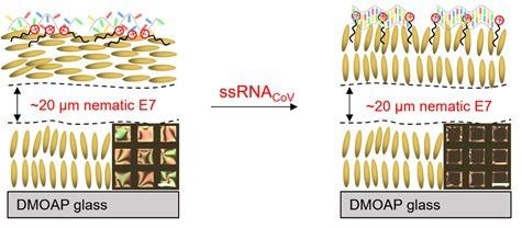 Schematic showing the physical arrangement of LCs – left shows alignment pre-addition of ssRNAcov; right shows the change in alignment induced by the binding of the ssRNAcov target to the ssDNA probe. Note: the insert image captures show the visual change from occluded (left) to clear (right).