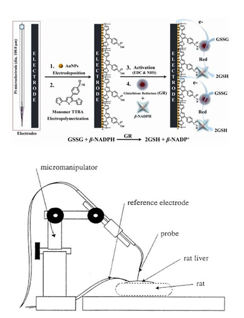 Schematic preparation of the in vivo glutathione biosensors.