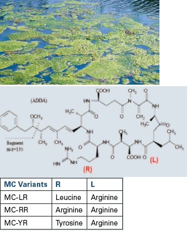 Structures of the cyanobacterial toxin Microcystin-LR and its other variants MC-RR and MC-YR from the replacement of the R and L residues