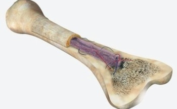 Mechanical Surface Testing of Bone Using Nanoindentation