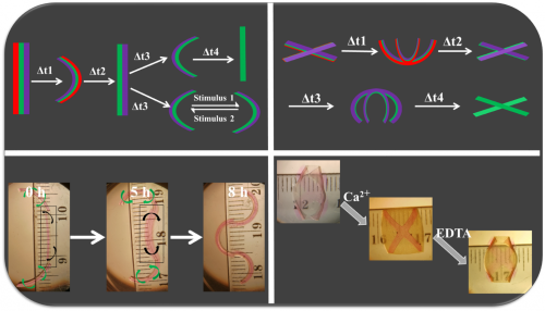 4D hydrogel-based materials can undergo multiple conformational shape changes in response to environmental cues.