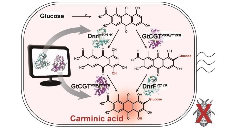 A schematic biosynthetic pathway for the production of carminic acid from glucose.