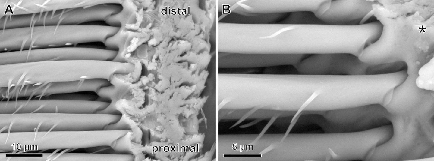 Functional Diversity of Spider Hairs may Lead to Powerful, Reversible Adhesives