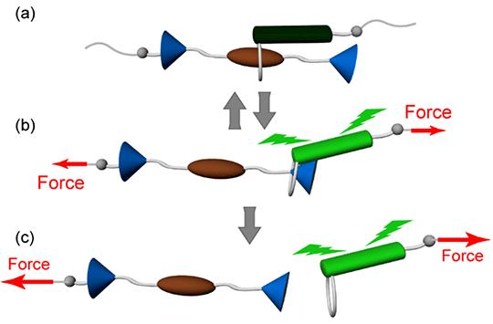 Study Opens the Door to Exploring New Force Regimes in Polymers