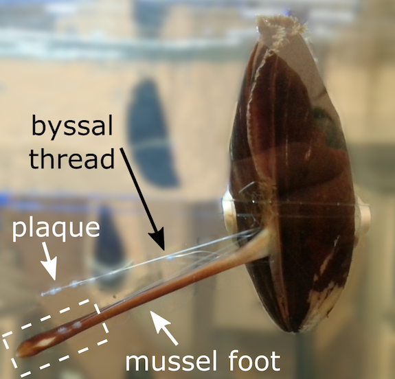 Researchers Study Blue Mussels to Develop Adhesives Suitable for Wet Conditions.