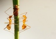 Newly Identified Compounds Could Help Give Fire Ants Their Sting
