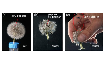 Study on Dandelions Could Help Develop Bioinspired Devices for Underwater Operations