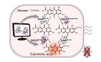 Newly Engineered Bacterium can Produce Carminic Acid